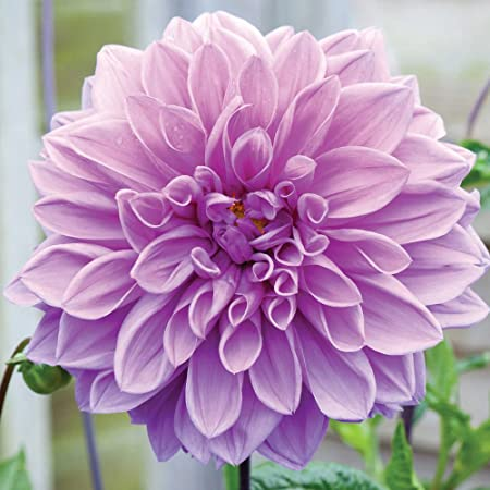 Toad Lilies Dark Beauty//Tricyrtis Tricyrtis bulbo//tub/érculo//ra/íz Toad Lilies Dark Beauty