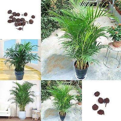 5Pcs Palm Tree Seeds Plant Home Garden Patio Balcony Yard Bonsai Decoration - Palm Tree Seeds : Garden & Outdoor