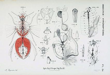 Amazon.com: Atlas d\'anatomie comparée des invertébrés /.Paris:Doin ...