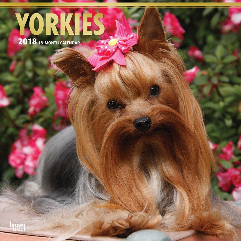 Yorkshire Terriers - Yorkshire Terrier 2018-18-Monatskalender mit freier DogDays-App: Original BrownTrout-Kalender [Mehrsprachig] [Kalender] (Wall-Kalender)