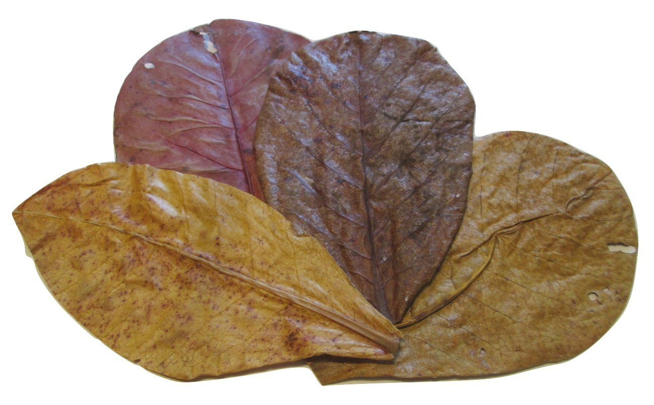 x15 Indian Almond Leaves Medium Catappa 10-16cm A+ Grade For Betta Fish & Shrimps