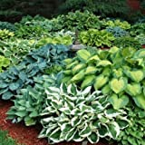 Hosta Bumper Crop Mix 10 Healthy Bare Root Hostas Fabulous Color & Texture for Shady Gardens
