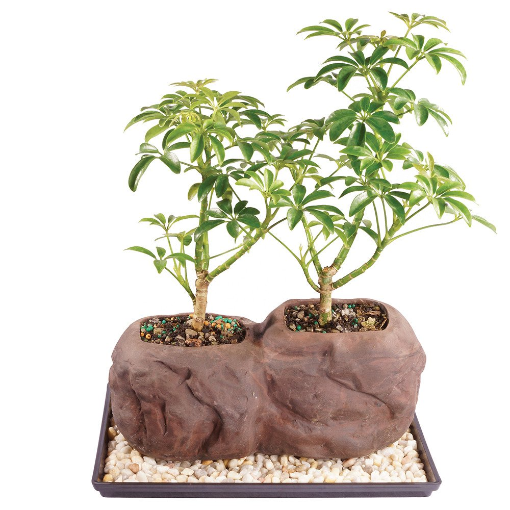 Brussel's Live Dwarf Hawaiian Umbrella Indoor Bonsai Tree on Double Rock - 3 Years Old; 6'' to 10'' Tall with Decorative Container, Humidity Tray & Deco Rock by Brussel's Bonsai