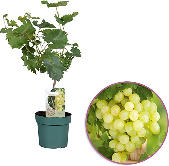 Planta de fruta de Botanicly – vid de uva común bianca – Altura: 65 cm – Vitis vinifera Bianca: Amazon.es: Jardín