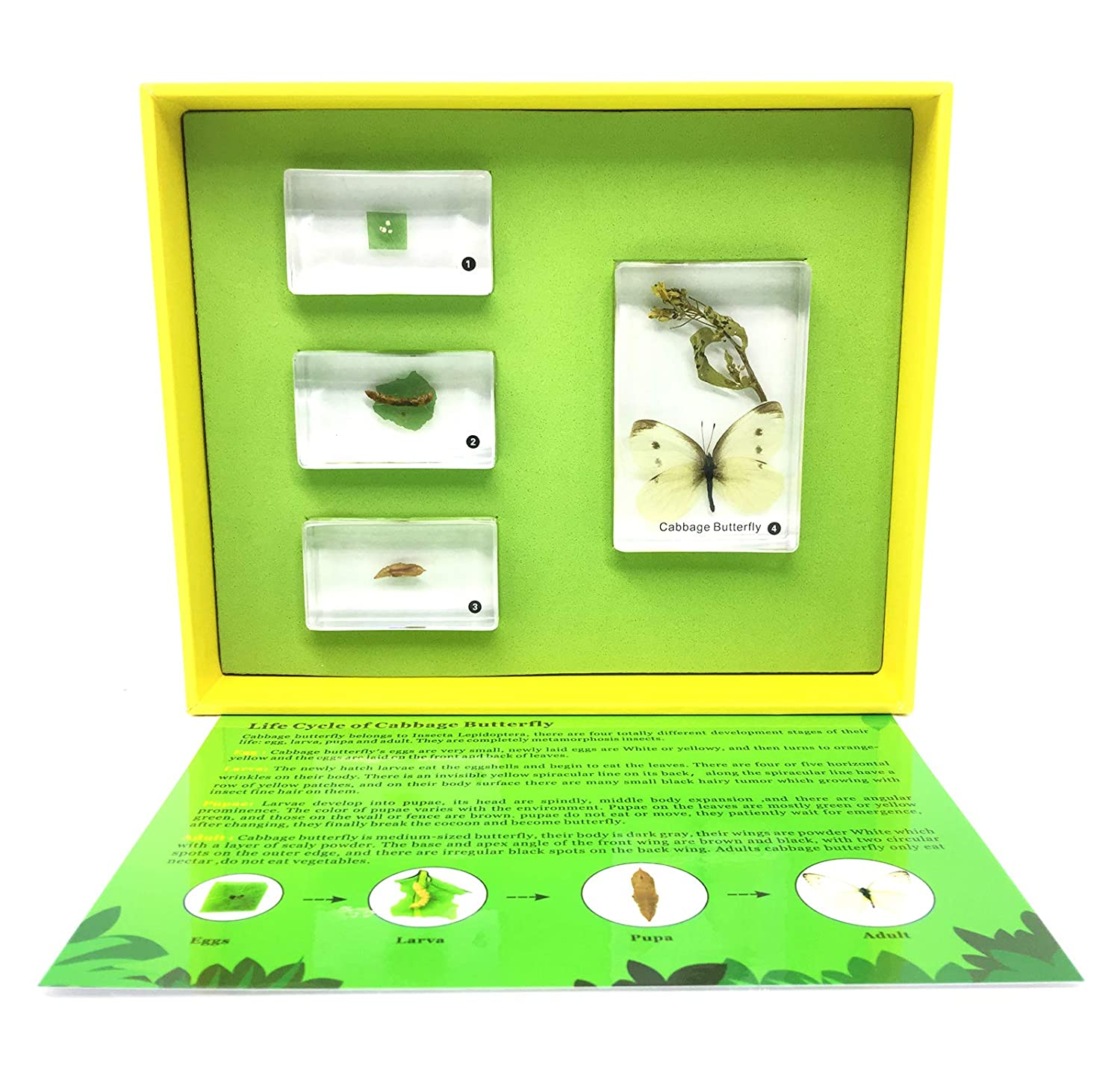 Lifecycle of a Butterfly Science Classroom Specimens for Science Education