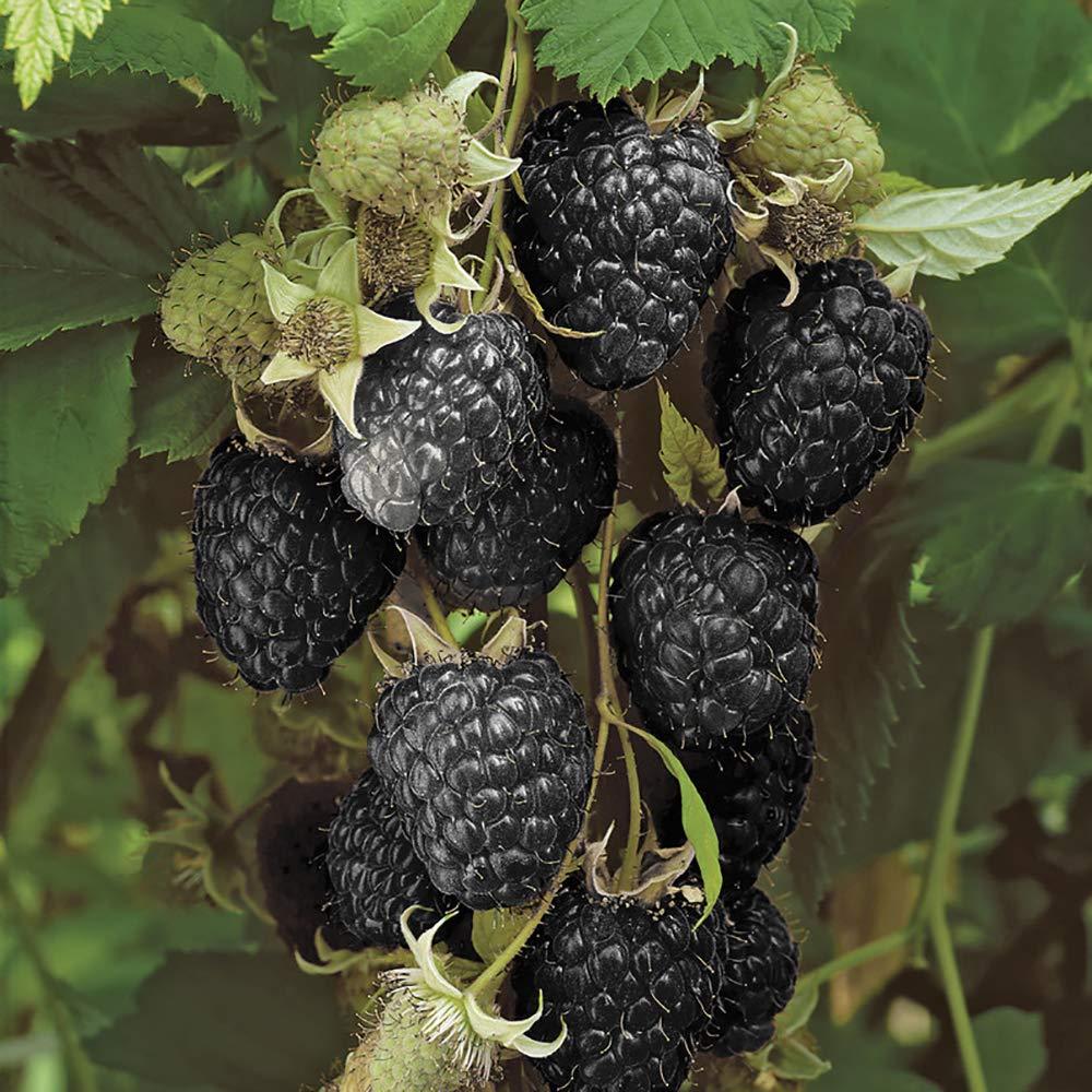 Black Raspberry Black Jewel Plant in a 2L Pot Grow Your Own Fruit