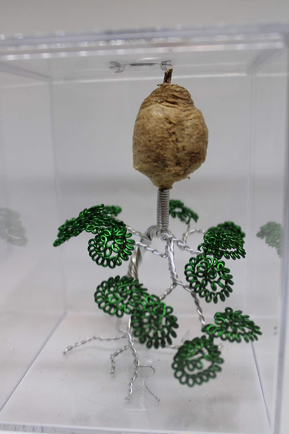 Live Chinese Ootheca Praying Mantis Egg Case Mantid Hatching Habitat On Wire Art in Acrylic Box (The Bonsai Tree)