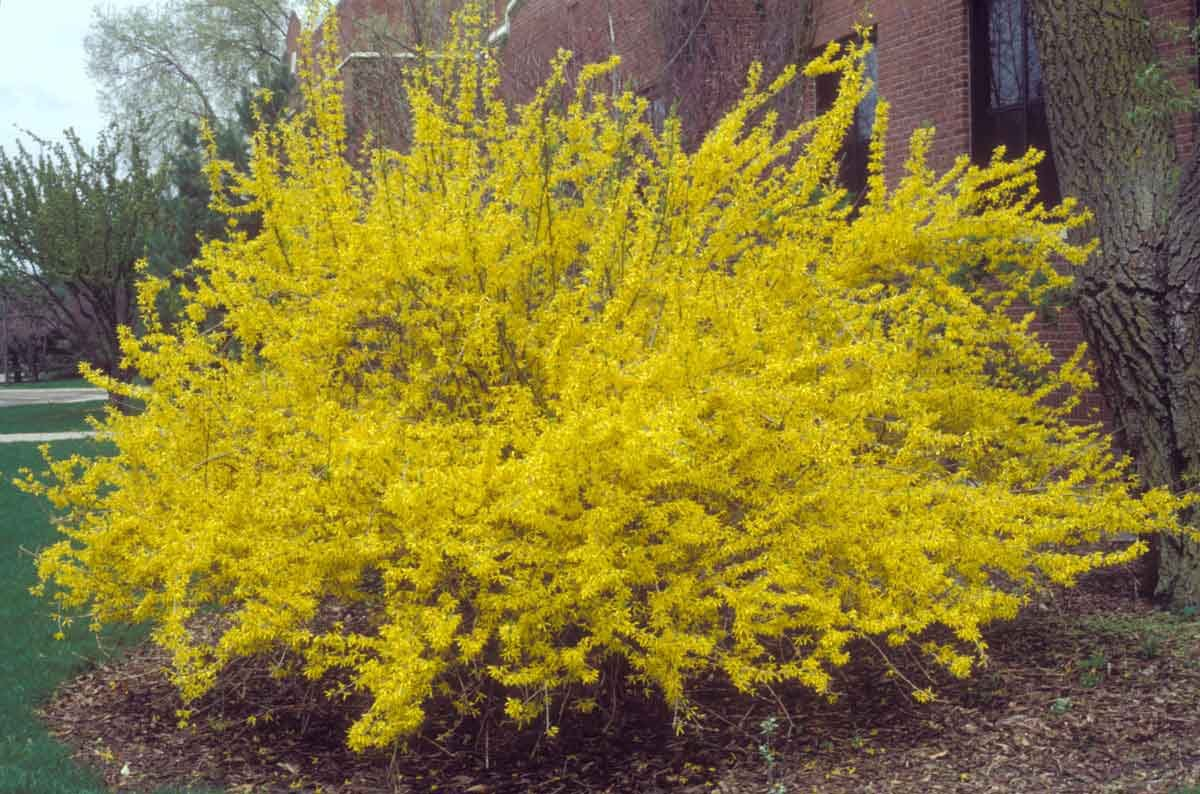 (1 Gallon Plant) Forsythia '' Spring Glory'' Stunning Arching Branches on This Vase-shaped Shrub. Beautiful, Light Yellow Flowers Explode During Early Spring,