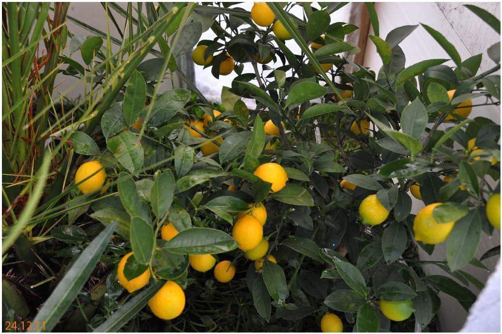 Citrus x limon Meyer-Meyer/'s Lemon Plant in 1.5Ltr pot