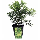 "Key Lime Tree - Fruit Bearing Size -8"" Pot-NO SHIPPING to TX, FL, AZ, CA, LA, HI"