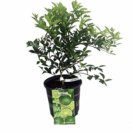 Key Lime Tree   SHIPPING IN LATE SPRING U002717   *Only Canadian Shipper*