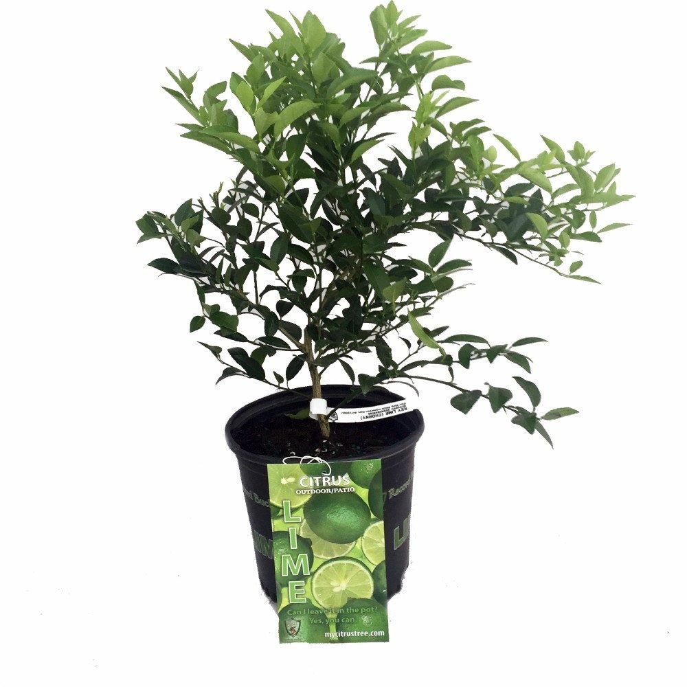 Key Lime Tree - Fruit Bearing Size -8'' Pot-NO SHIPPING to TX, FL, AZ, CA, LA, HI