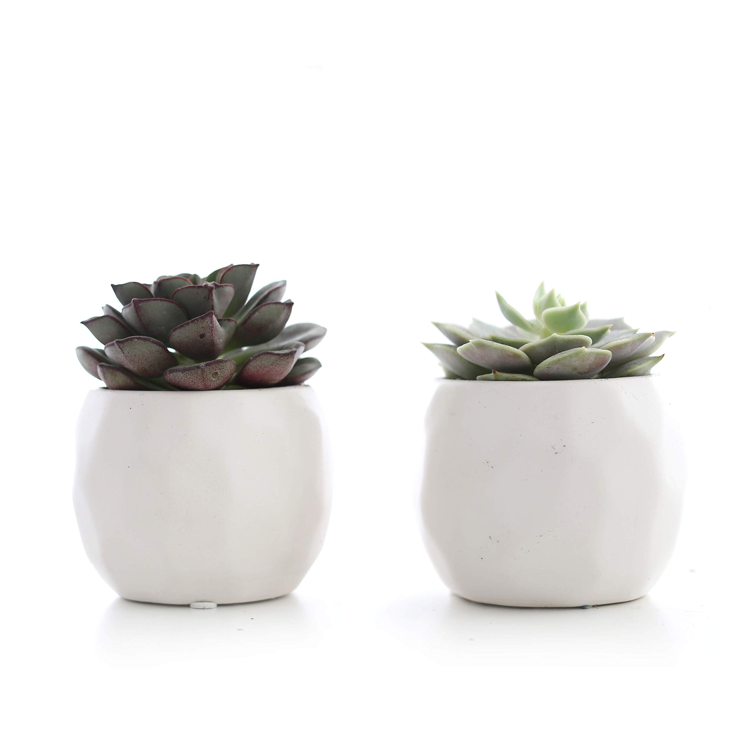Plants by Post 3.5'' Mini Live Succulent in White Geometric Ceramic Pot (Set of 2)