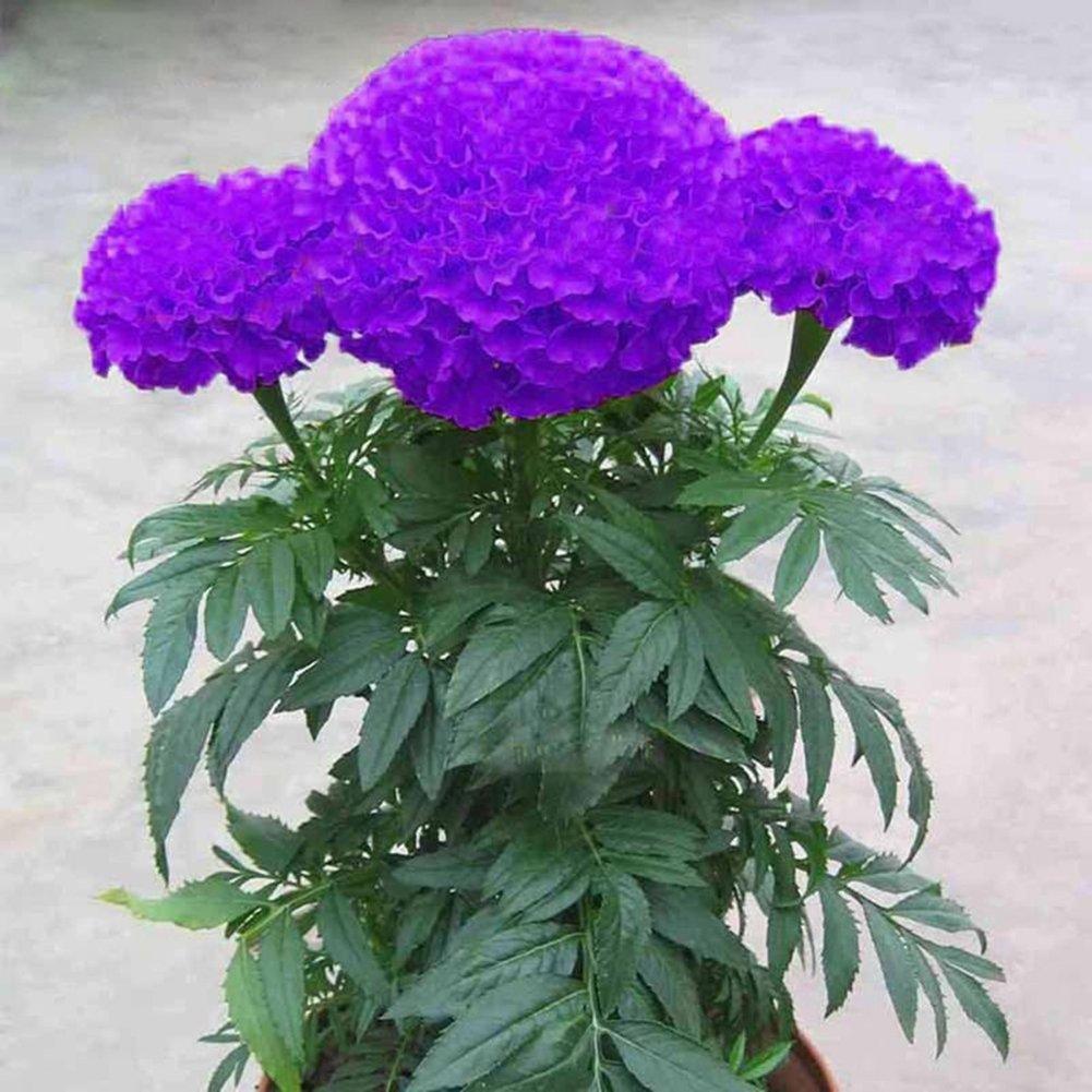 WuWxiuzhzhuo Paquet de 100graines de souci - Violet - Fleur de plante en Pot - Décoration de Maison et Jardin
