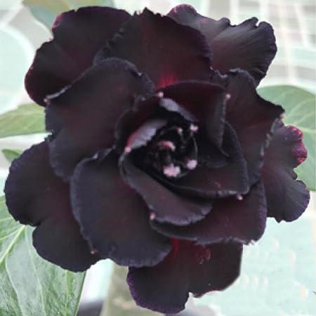 "New! Adenium Obesum Desert Rose /""Harry/"" 100 Seeds !!"