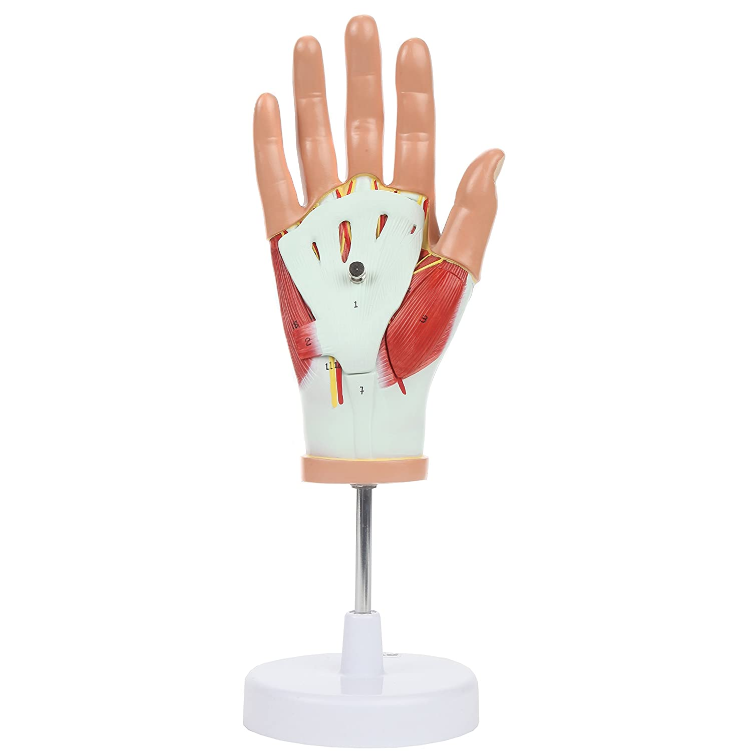 Amazon Axis Scientific Human Hand Model Life Size Anatomy