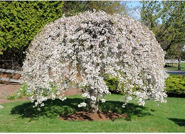 Amazon Com Shidare Yoshino Weeping Cherry Tree Potted 1 Gallon 1