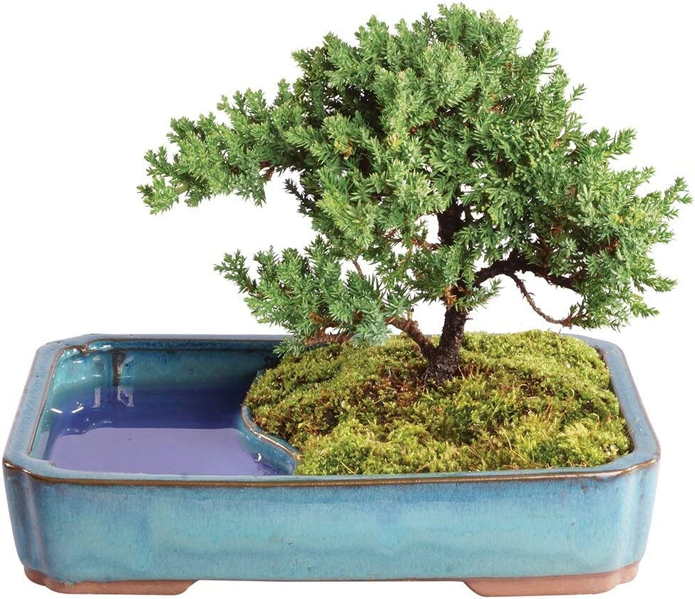 Amazon Com Brussel S Bonsai Live Green Mound Juniper Outdoor Bonsai Tree In Water Pot 4 Years Old 8 To 10 Tall Garden Outdoor