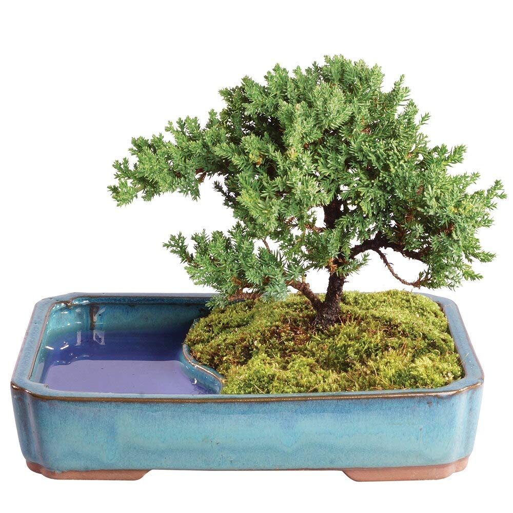 Brussel's Bonsai Live Green Mound Juniper Outdoor Bonsai Tree in Water Pot-4 Years Old; 8'' to 10'' Tall