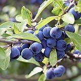 1 Stück Schlehe / Schwarzdorn - (Prunus spinosa - Schlehdorn), Containerware 60 - 100 cm