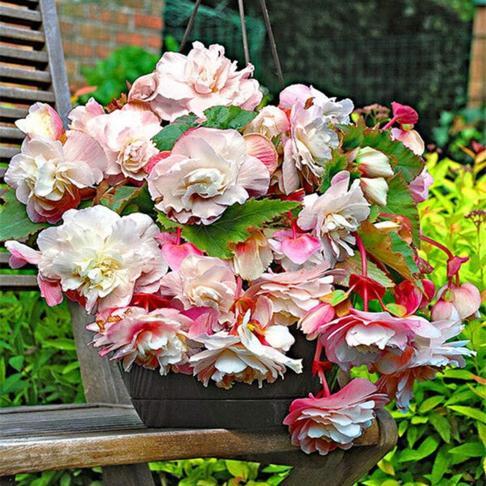 lamta1k 100 Unids Begonia Semillas Alto índice de Supervivencia Hogar Jardín Bonsai Flor Ornamental DIY Decoración - Begonia Semillas