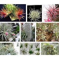 XQxiqi689sy 200 Piezas Raras Semillas De Tillandsia Planta Ornamental Jardín Jardín Bonsai Decoración Semillas de…