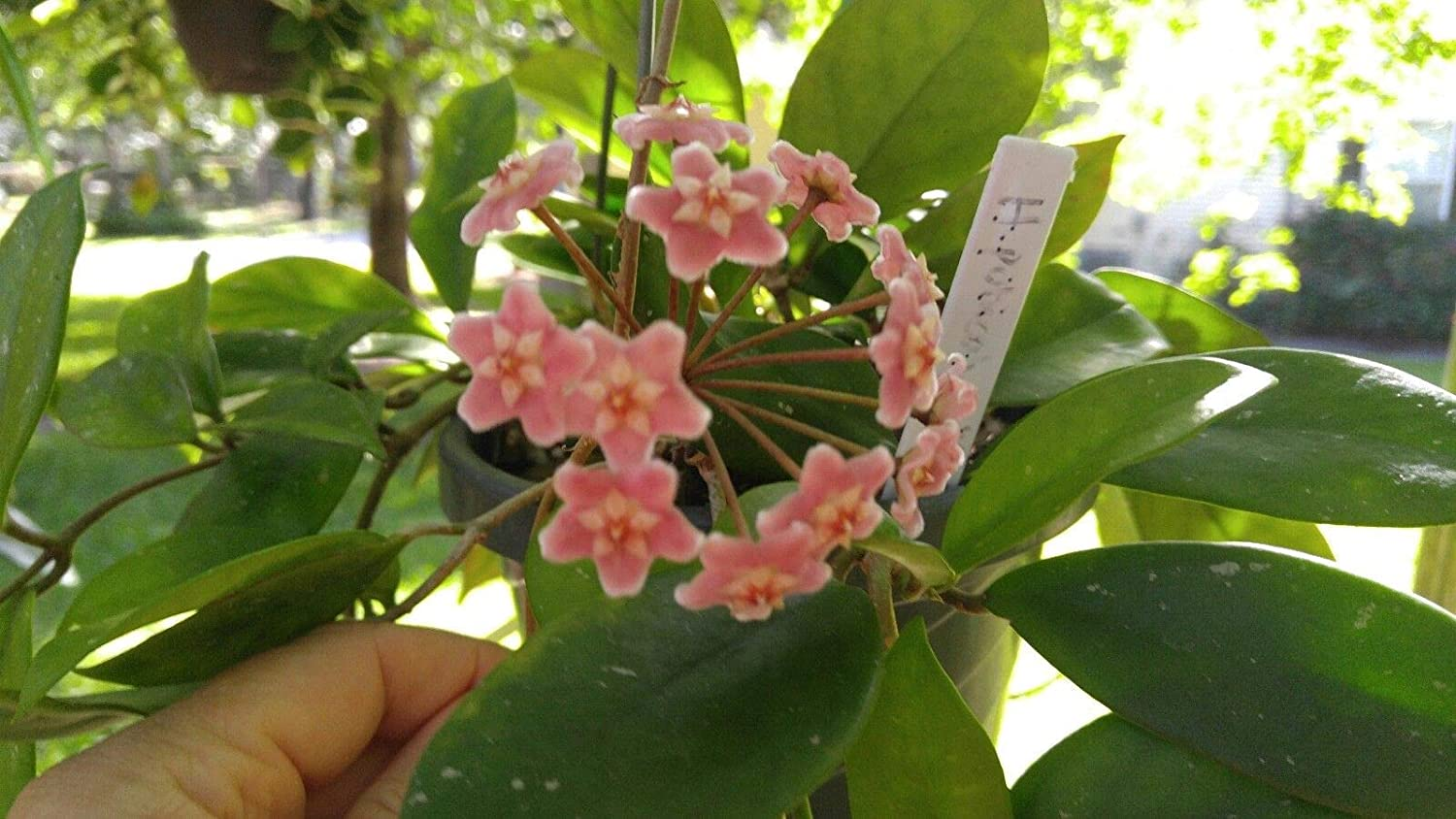 Easy Fast grower Free Shipping ! Hoya Pubicalyx Red 3 node Cutting