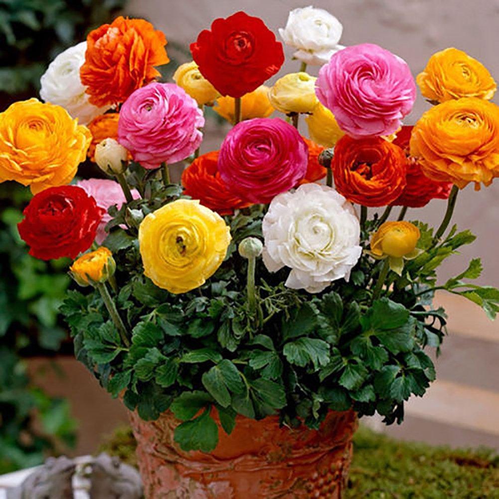 Blisscomdep 50Pcs Buttercup Flower Seeds (Ranunculus Persian) Perennial Gardening Plant Decor by Blisscomdep
