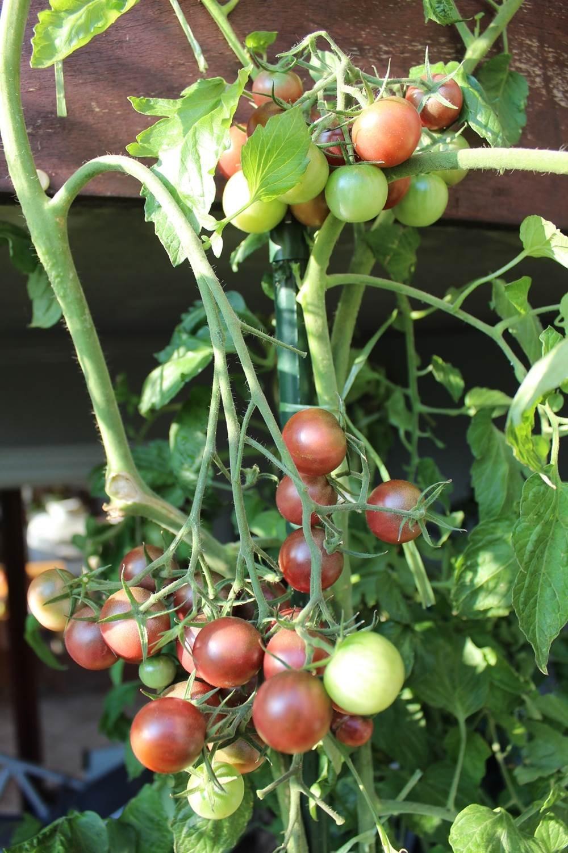10 Samen Negro Azteca Tomate – seltene Fruchtfarbe, hoher Ertrag ...