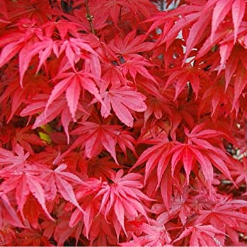 Acer Palmatum Skeeters Broom Japanese Maple Tree 5 6ft Supplied In A