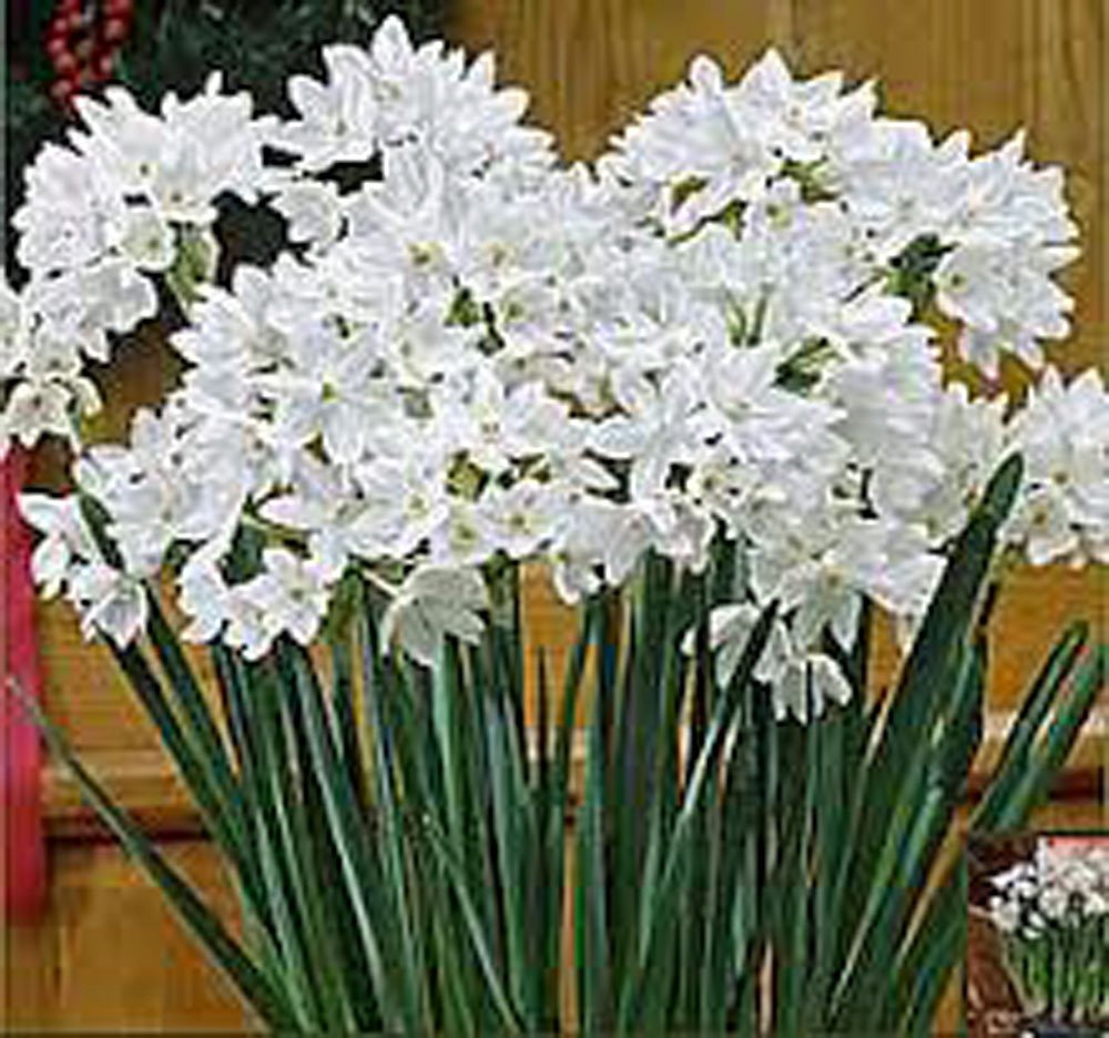Paperwhite, Bulb (20 Pack) Daffodil , White Perennial Paperwhite Daffodil Bulbs, Yellow Flowers by Country Creek Acres
