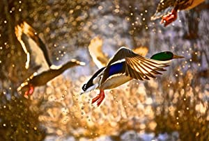 Wild Duck Flying Water Splashing Art Print Canvas Poster,Home Wall Decor(28x42 inch)