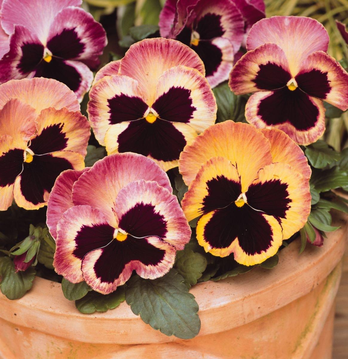 Pansy Matrix Sunrise   Tray of 40 Plug Plants Brookside Nursery