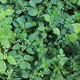 500 Samen griechischer Oregano – Origanum vulgare var hirtum, intensives Aroma