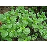 Seeds Common Purslane (Portulaca oleracea) Organically Grown Heirloom Herb
