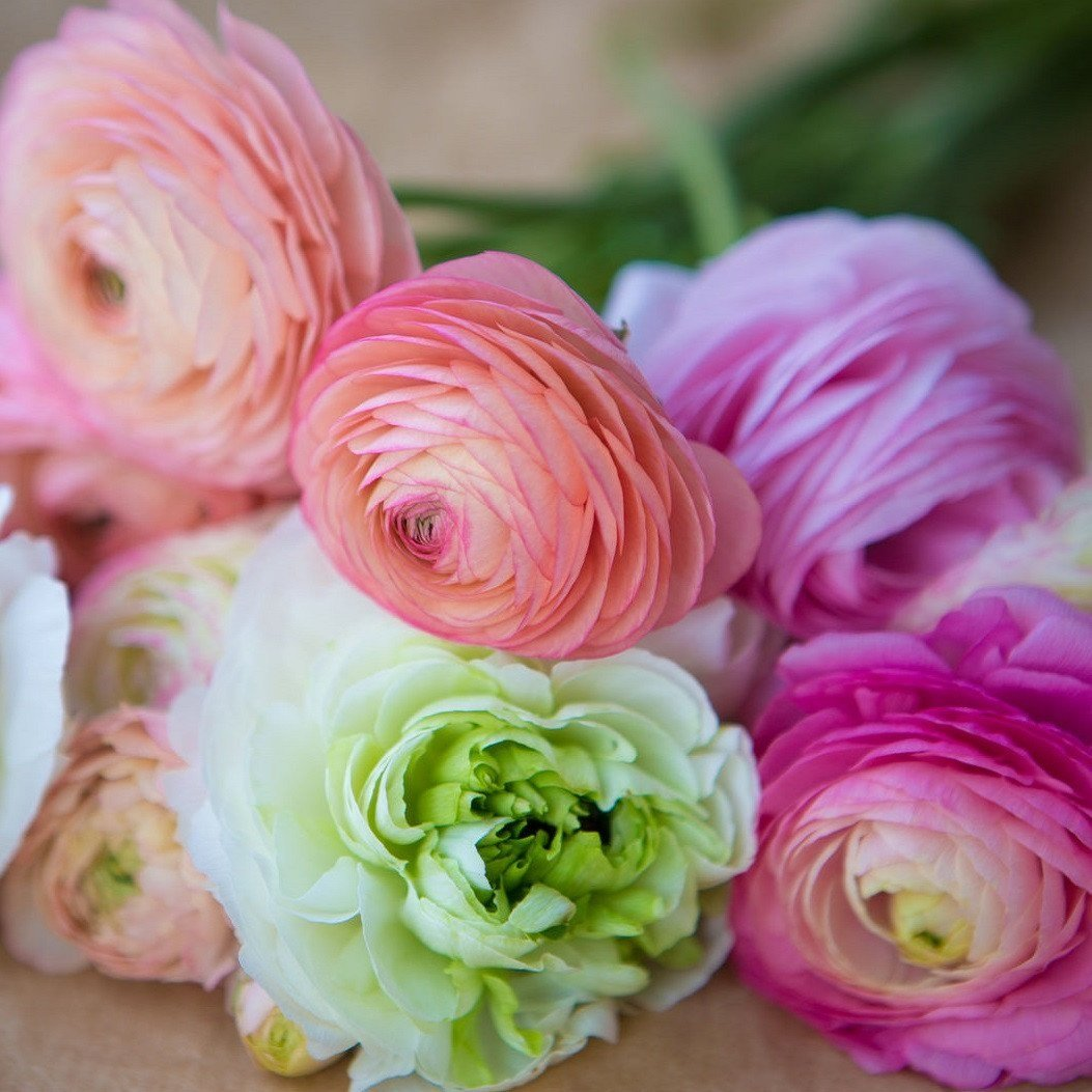 Ranunculus Tecolote Pastel Mix & White Lace Collection - 30 XL Bulbs - 8+ cm | Ships from Easy to Grow TM by Easy to Grow