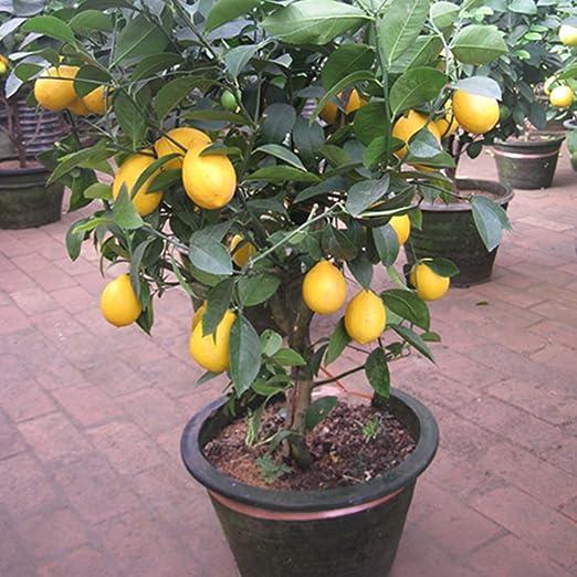 Auntwhale 10 piezas de semillas de limón: Amazon.es: Jardín
