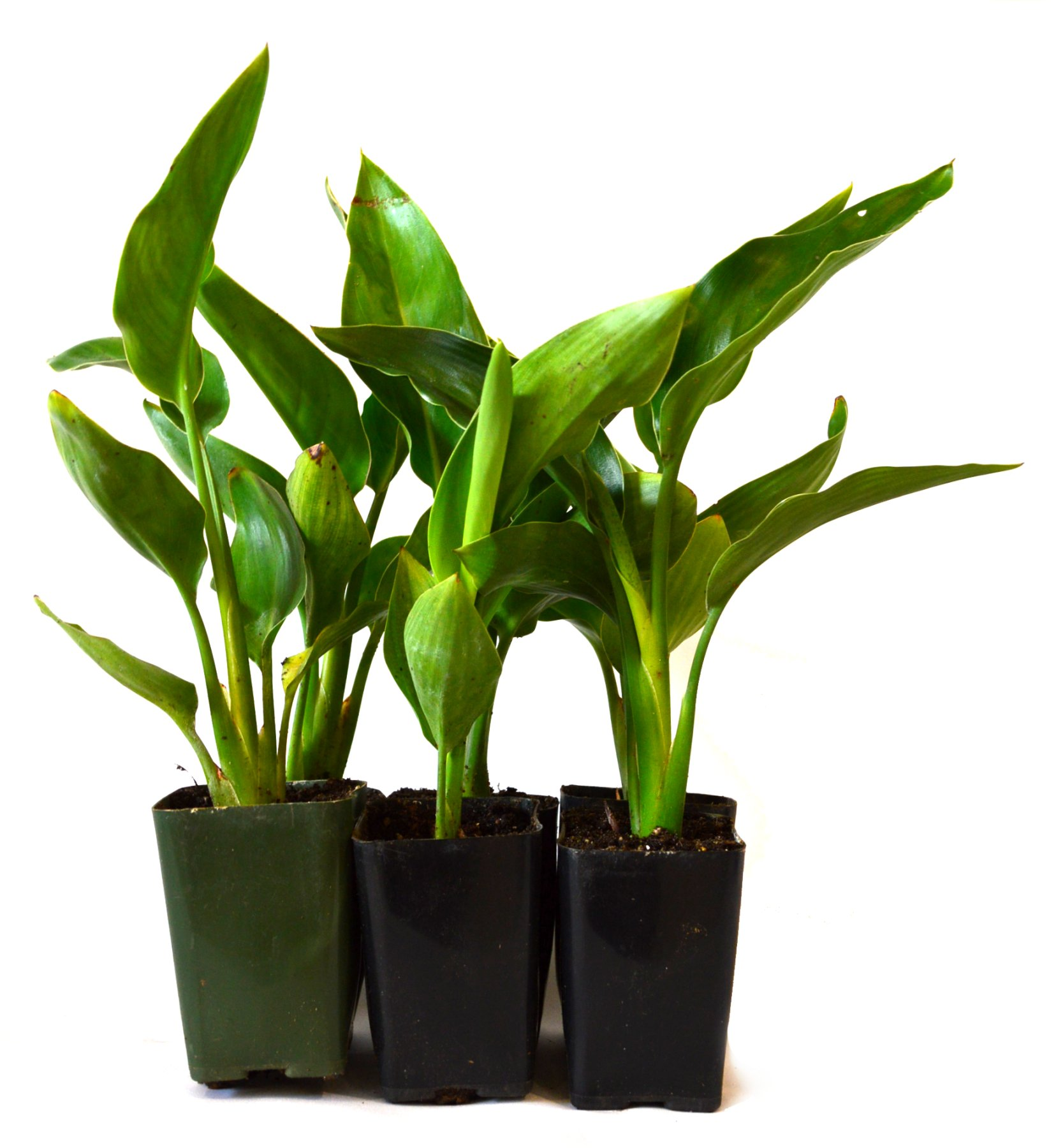 9Greenbox Live Plants, Orange Bird of Paradise, 4 Pound (Pack of 6)
