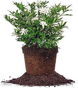 Perfect Plants Frostproof Gardenia Live Plant, 1 Gallon, Includes Care Guide