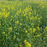 Outsidepride Yellow Mustard Herb Plant Seed - 5000 Seeds