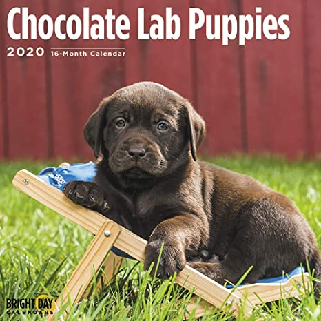 2020 Chocolate Lab Puppies Wall Calendar By Bright Day 16 Month 12 X 12 Inch Cute Dogs Puppy Animals Retriever Gun Canine