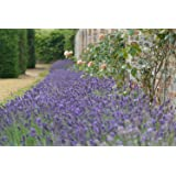 Premier Seeds Direct ORG175 Lavender Common English Organic Seeds (Pack of 400)
