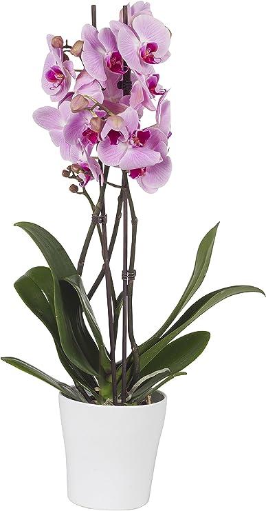 Piante Da Appartamento Orchidea.Pianta Da Interno Vera Orchidea Phalaenopsis Rosa Monet Con Vaso