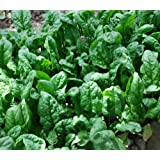 200+ Spinach Seeds- Organic- Giant Noble- Heirloom Variety by Ohio Heirloom Seeds