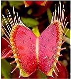 Dionaea muscipula Dent long - - 3 semillas