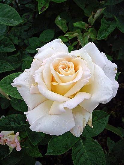 Shop Meeko ROSE Sarah-magníficas Cumpleaños & Flower regalos ...