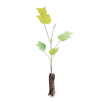 Tulip Poplar | Small Tree Seedling | The Jonsteen Company : Garden & Outdoor