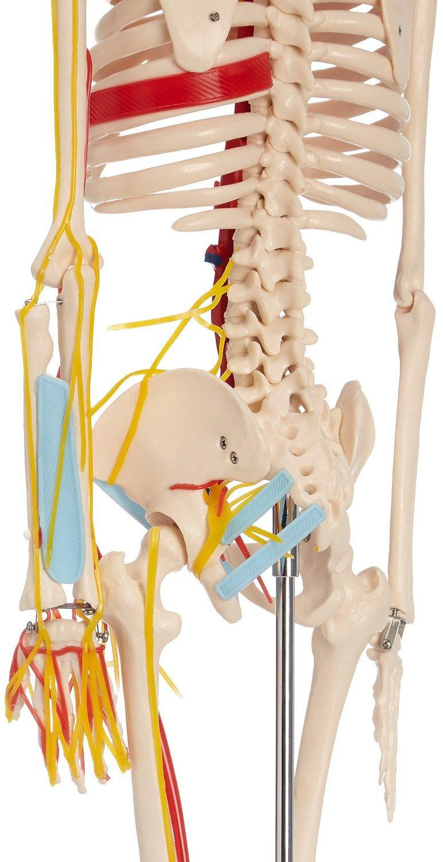 66fit menschliches Skelett-Modell mit Nerven und Blutbahnen (85 cm ...