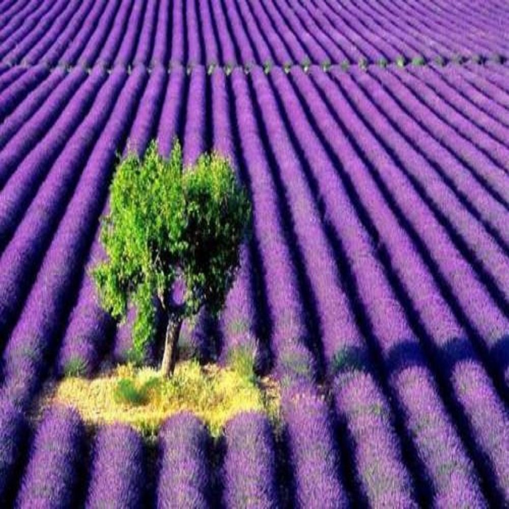 LAVENDER FRAGRANCE OIL - 16 OZ/1 LB - FOR CANDLE & SOAP MAKING BY VIRGINIA CANDLE SUPPLY WITH WITHIN USA