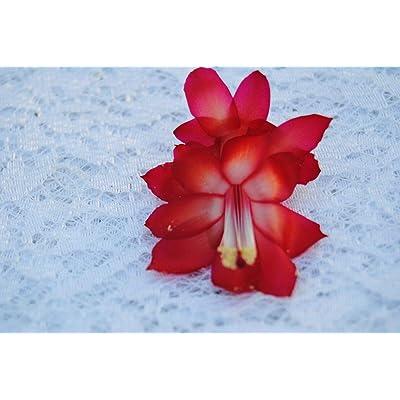 AchmadAnam Cactus Starter Plant ~Star Dust~ Schlumbergera : Garden & Outdoor